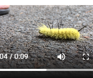This cute yellow bug ain't so cute! (Video)