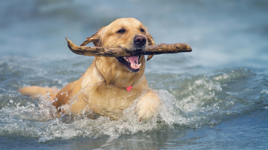 golden_retriever_water-178132375.jpg