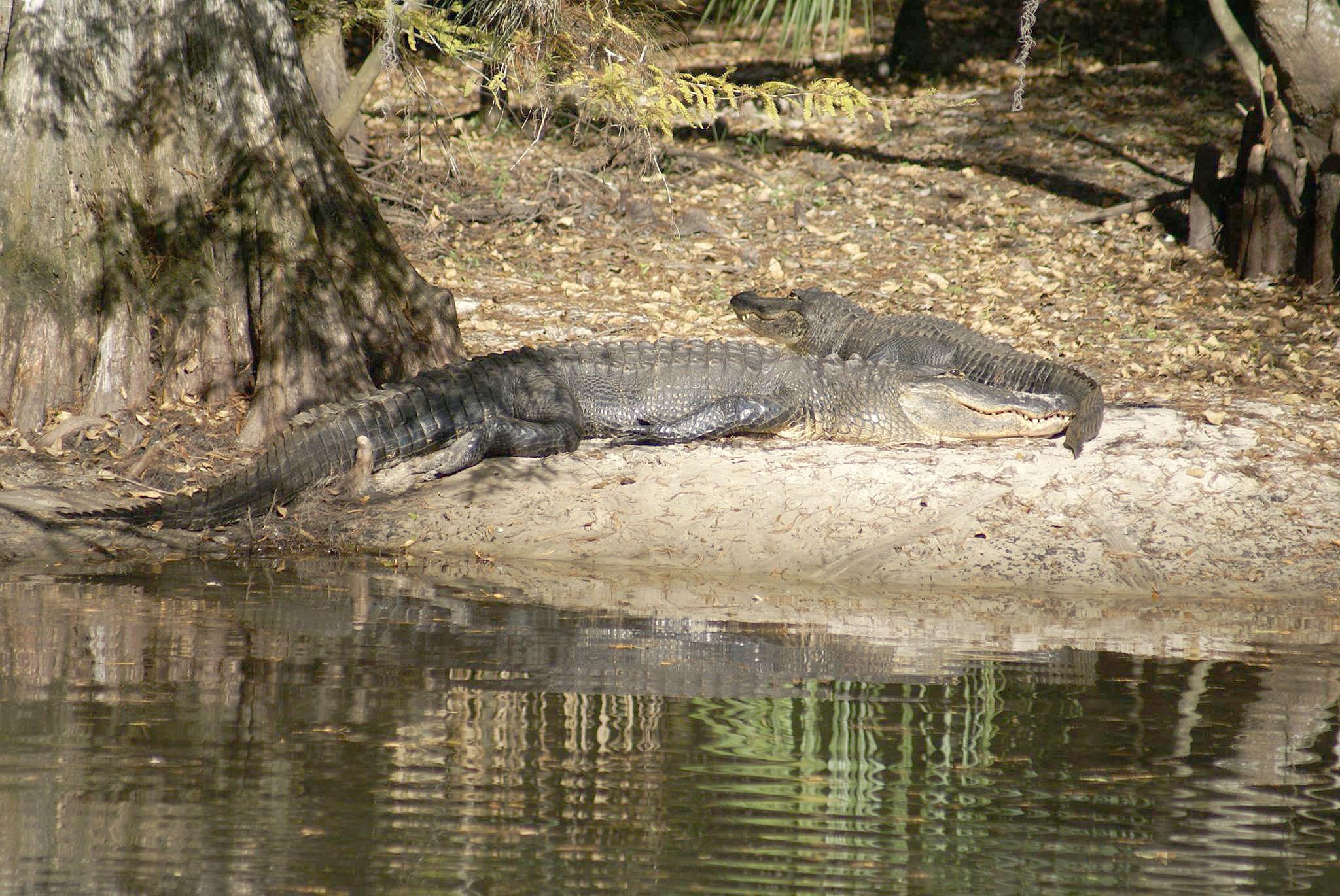 GatorsSunning2.jpg
