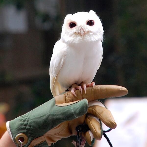 Luna-the-owl-at-Peace-River-Wildlife-Center-Punta-Gorda-FL.jpg