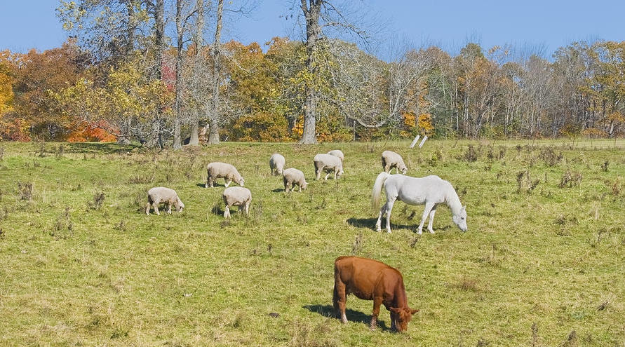 cow-horse-sheep-grazing-on-grass-farm-field-maine-photograph-keith-webber-jr.jpg
