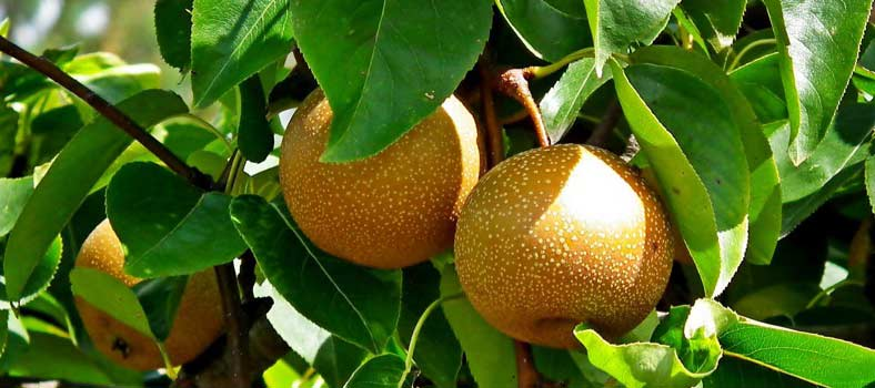 asianpear-800.jpg