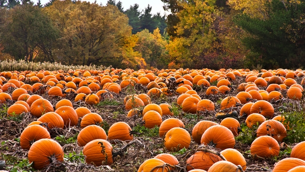 pumpkin patches.jpg