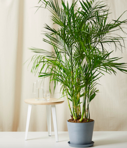 bamboo palm.png