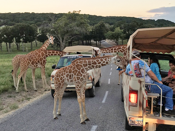 fossil-rim-wildlife-center-feeding-giraffes.png