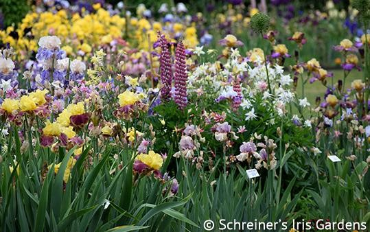 Exploring Salem Oregon: Iris Bloom Season Open House