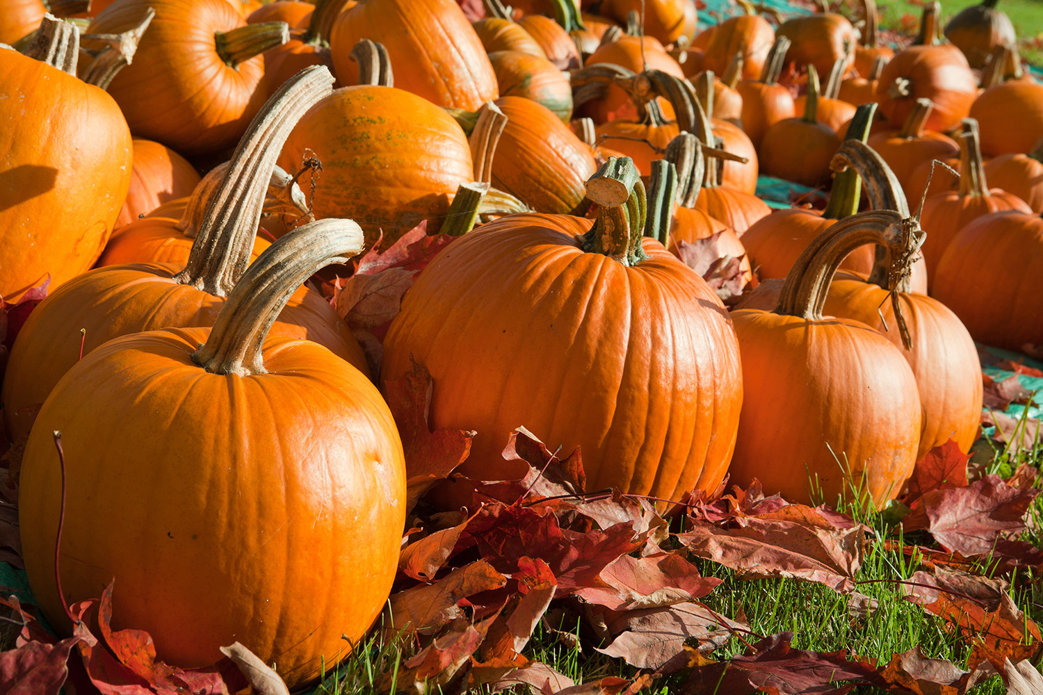 Pumpkin Patches in the Greater Sacramento Area